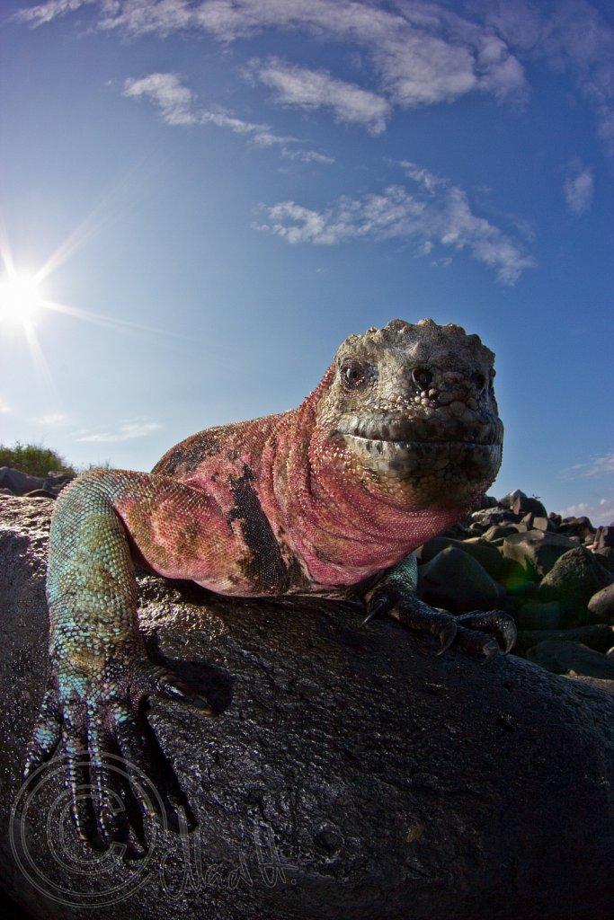 Colourful Marine Iguana during Mating Season
