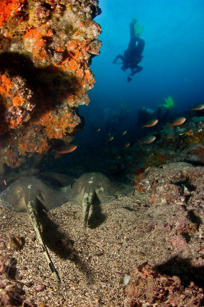 Diamond Stingrays resting in a Coral Cove