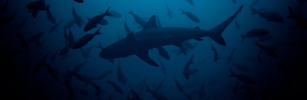 Galapagos-Shark-schooling-creolfish-pages-small.jpg